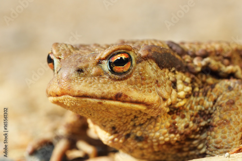 Photo macro portrait of ugly brown toad