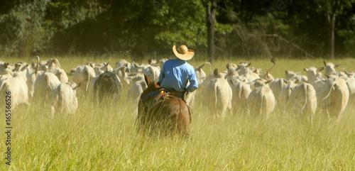 La pose en embrasure Vache Fazenda de gado