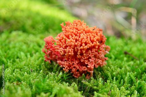 Fotografie, Obraz  ramaria botrytis mushroom
