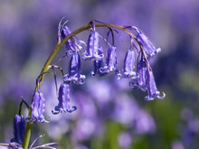 Bluebell (Hyacinthoides Non-scripta) Close-up Among Many Others