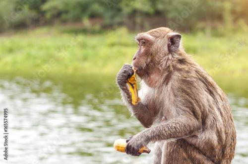 Photo Monkey sitting and eating a banana with lake nature background, Thailand