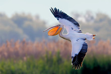 White Pelican Flies With Wide ...
