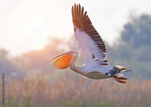 Staande foto Struisvogel White pelican flies with wide open beak and screams