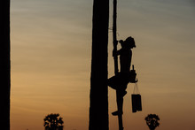 People In Coconut Plantation Are Working On Coconut Tree At Sunset.