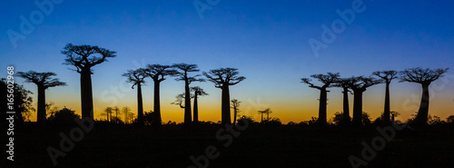 In de dag Baobab Sunset on baobab trees