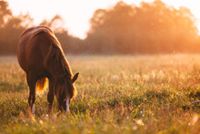 Horse Grazing In Meadow On Sunset