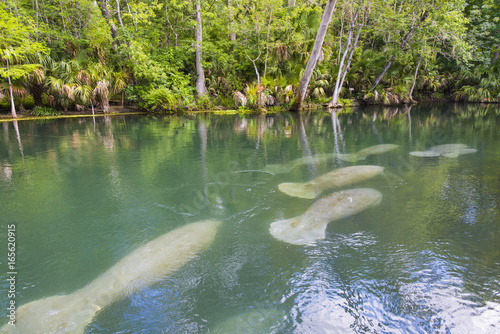 Fotografie, Obraz  Manatee swimming up the beautiful Silver River in Florida to stay warm in the wi