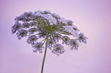 Queen Anne's Lace With Purple ...