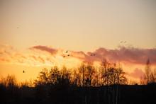 Silhouette Of Birds Wildfowl G...