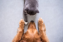 British Shorthair Cats And Gol...