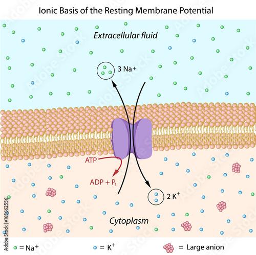 Ionic basis of resting membrane potential Wallpaper Mural