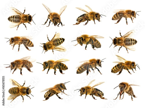 Garden Poster Bee group of bee or honeybee on white background, honey bees