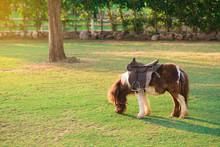 Dwarf Horse Eating Green Grass.