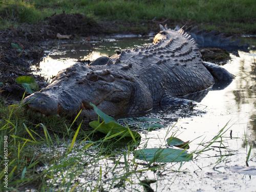Estuarine (saltwater) Crocodile, Top End, Northern Territory, Australia
