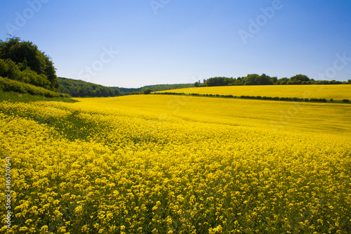 Montage in der Fensternische Melone Rapeseed field,West Sussex, England