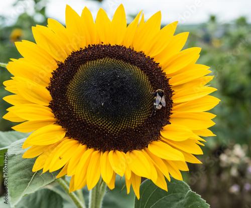 In de dag Zonnebloem Sonnenblume mit Hummel