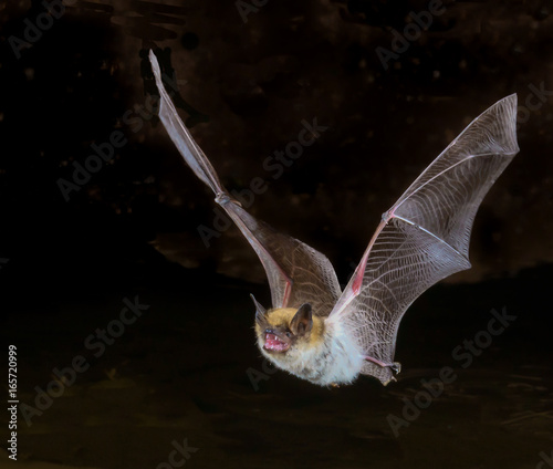 Keuken foto achterwand Arizona myotis bat in flight, up close