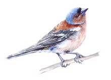 Watercolor Single Finch Animal Isolated On A White Background Illustration.