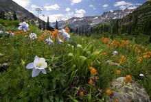 Columbine, Indian Paintbrush And Other Wildflowers, Yankee Boy Basin, Near Ouray, Colorado.