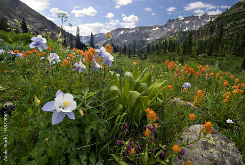 Obraz na plátně Columbine, Indian paintbrush and other wildflowers, Yankee Boy Basin, near Ouray, Colorado