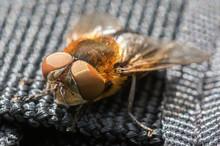 Parasitic Tachina Fly Phasia Hemiptera From Mandal, Norway, In Summer, July