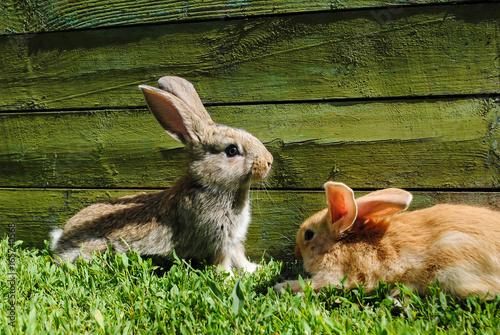 Zdjęcie XXL Króliki na trawie