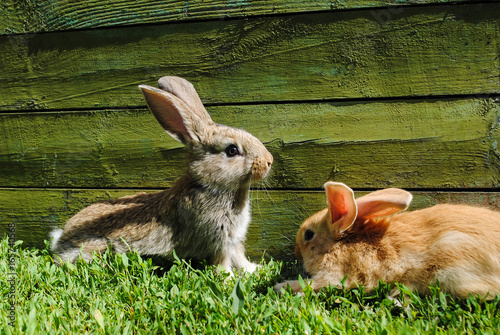 Fotomagnes Króliki na trawie