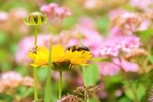 Abeille Sur Fleur De Coreopsis