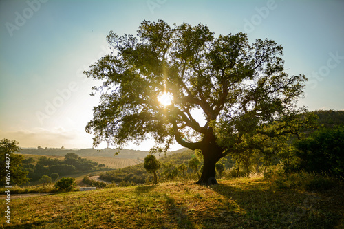 Old Cork oak tree (Quercus suber) in evening sun, Alentejo Portugal Europe Wallpaper Mural