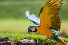 Blue And Yellow (gold) Macaw. ...