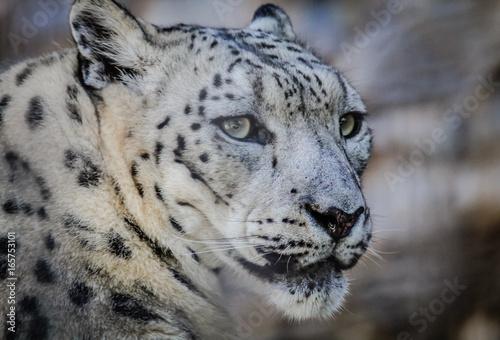Plakat Oczy Śnieżnego Leoparda