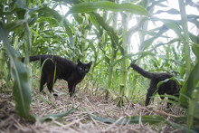 Feral Kittens In An Indiana Cornfield