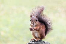 Young Squirrel Sitting With Nu...