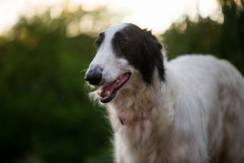 Dog Portrait. Cute Borzoi Dog Portrait. Bokeh On Background.