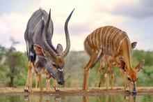 Nyala (Tragelaphus Angasi) At Waterhole, Kwazulu Natal.