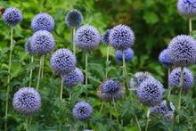 Flower Heads Of Echinops Commo...