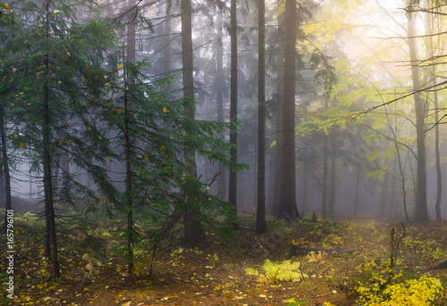 Fototapeta Mysterious autumn forest with different color trees and dense fog in Czech Republic, Europe obraz na płótnie