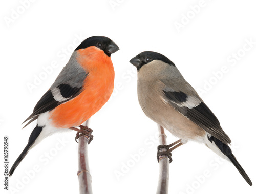 Fotografiet male and female bullfinch