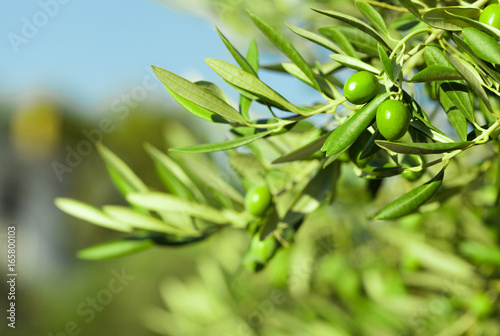 Tuinposter Olijfboom Green olives on a branch of olive tree - outdoors shot