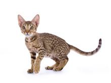 Ocicat Kitten Walking Isolated On White Background
