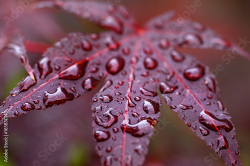 Leaves of red Japanese maple (fullmoon maple) with water drops after rain