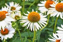 Summer Flowers, Coneflower White Field