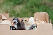 Mail Ordered Baby Mixed Chicks...