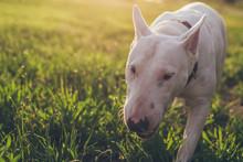 Bull Terrier Standing In A Par...