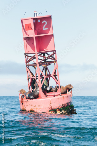 Plakat Vertical photo of wild adult California sea lions resting on a beacon buoy durin