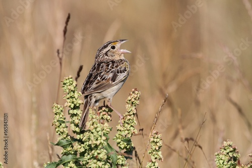 Aufkleber - Grasshopper Sparrow (Ammodramus savannarum)