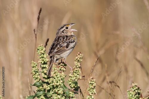 Sticker - Grasshopper Sparrow (Ammodramus savannarum)