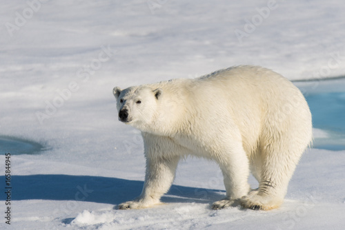 Foto op Aluminium Ijsbeer Polar bear on the pack ice