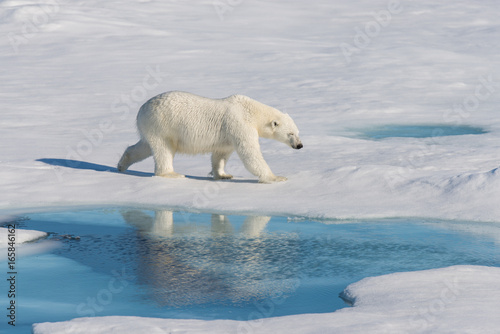 Foto op Plexiglas Arctica Polar bear on the pack ice