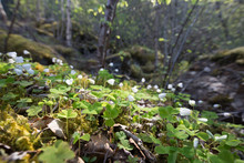 Forest Floor With Common Wood Sorrell (Oxalis Acetosella) In Spring